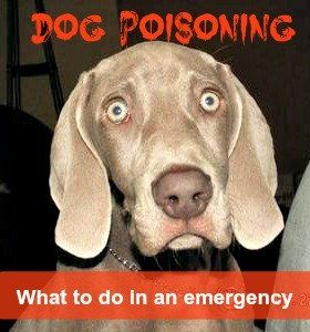 El envenenamiento accidental en los perros