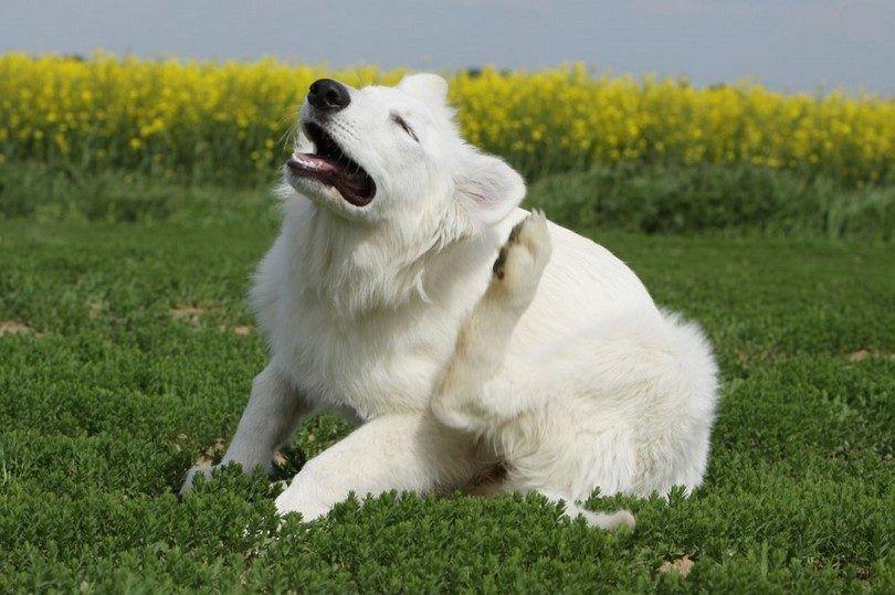 Alergias en la piel del perro: cómo ayudar a su perro a superar picazón en la piel