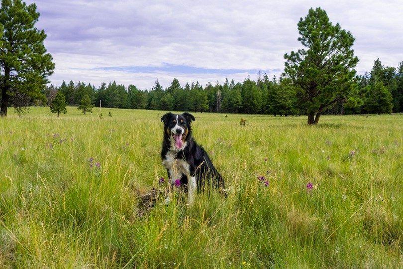 Perro no es alГ©rgico a polen