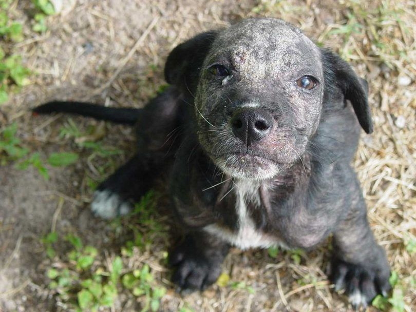 Problemas de la piel del perro: la mayoría de los problemas y métodos de tratamiento comunes