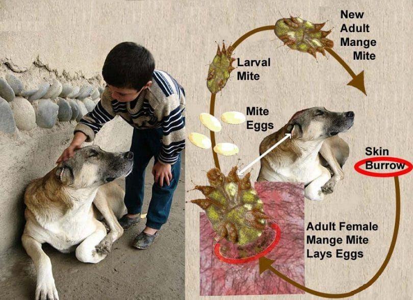 Los ácaros y sarna en perros
