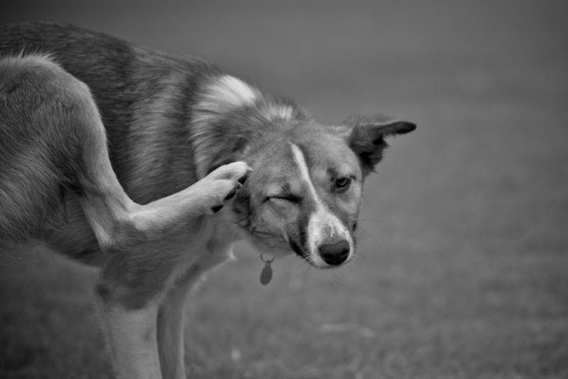 Perro infección por hongos de la piel: lista de los mejores tratamientos