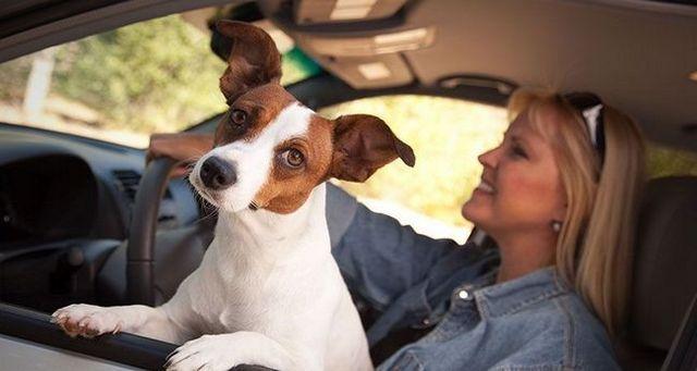 La conducción del perro-stracted: cómo su perro que pone en riesgo