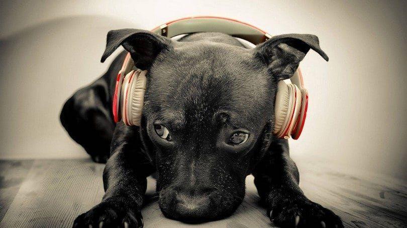 Perro que lleva los auriculares