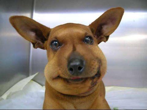 Tratamiento de picaduras de abeja en los perros de la pata, la boca y la cara - perro picadura de abeja