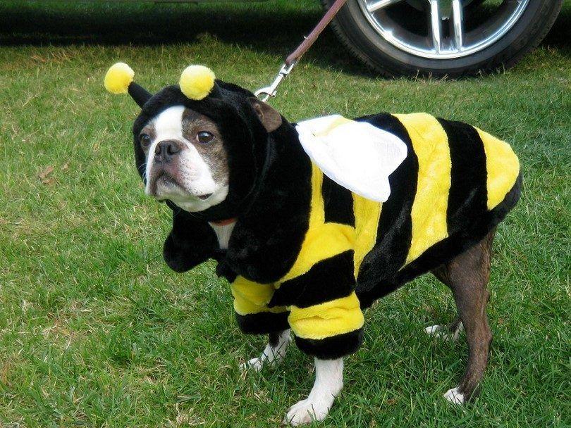 El perro se vistió como una abeja
