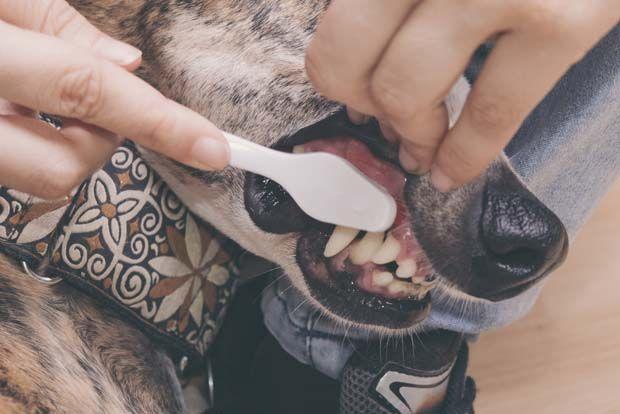 Los dientes del perro de limpieza 101 - Perros de cepillado` Teeth