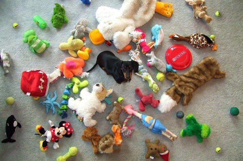 Dachshund con un montón de juguetes