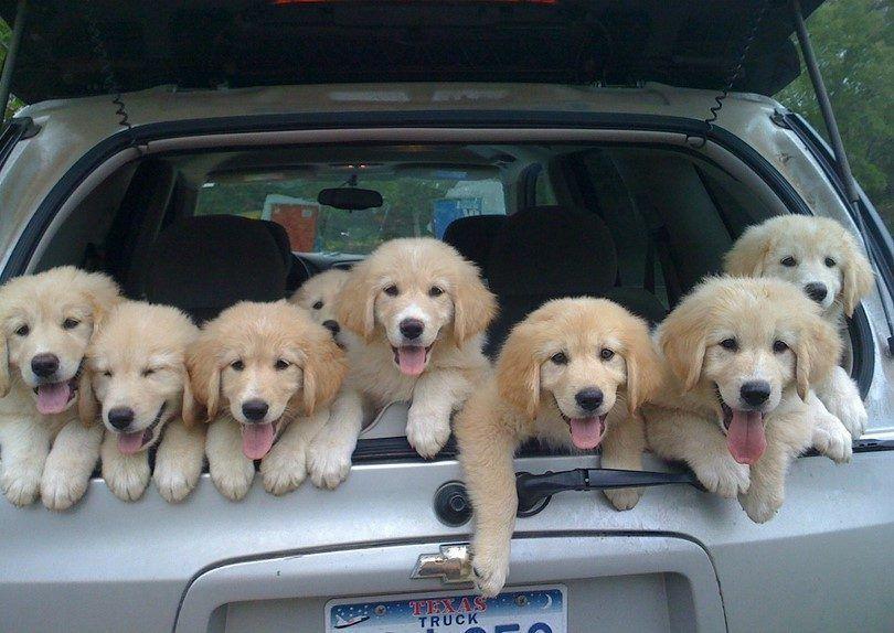 Perritos en el coche