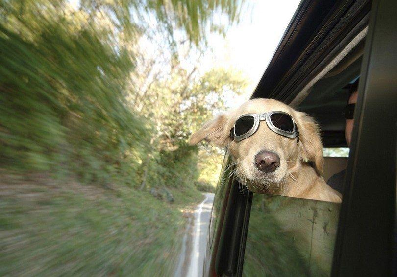 perro que viaja