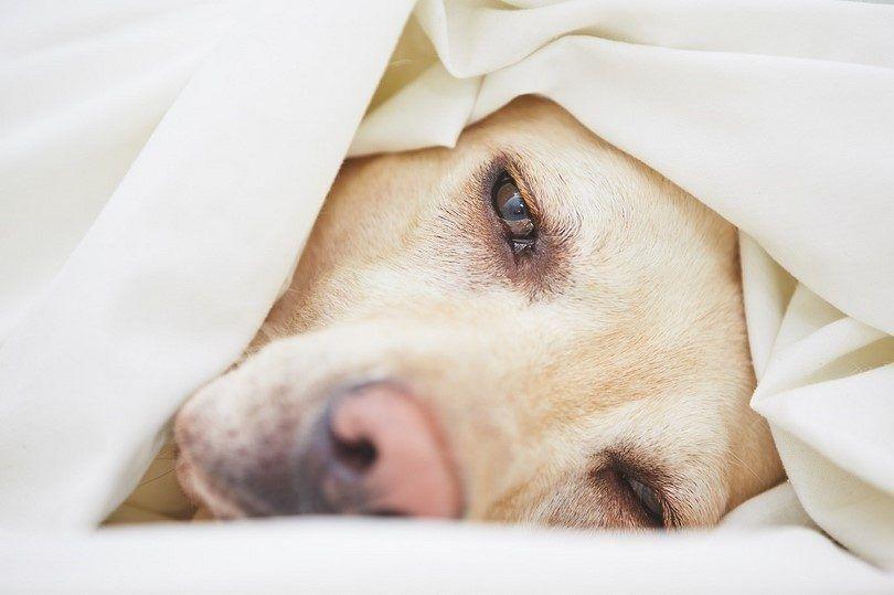Perro en la cama con problemas estomacales