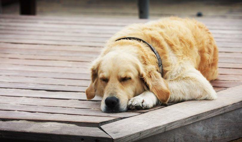 Perro con el síndrome de down: ¿es esto posible?