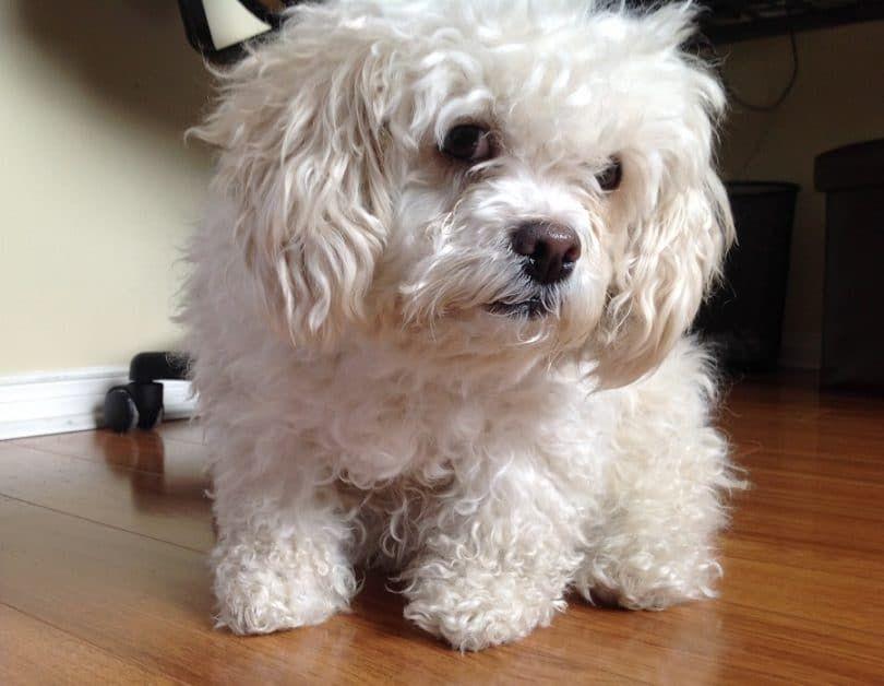 perro trisomía