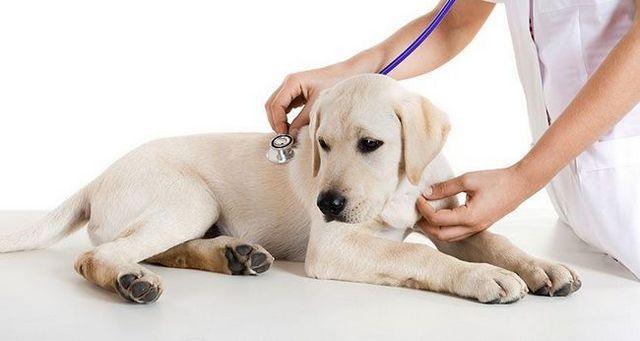 Los perros y los vómitos crónicos: causas y tratamientos