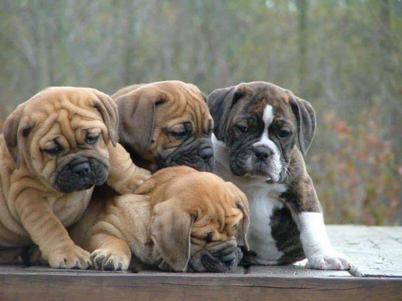 cachorros de bulldog inglés Lazy