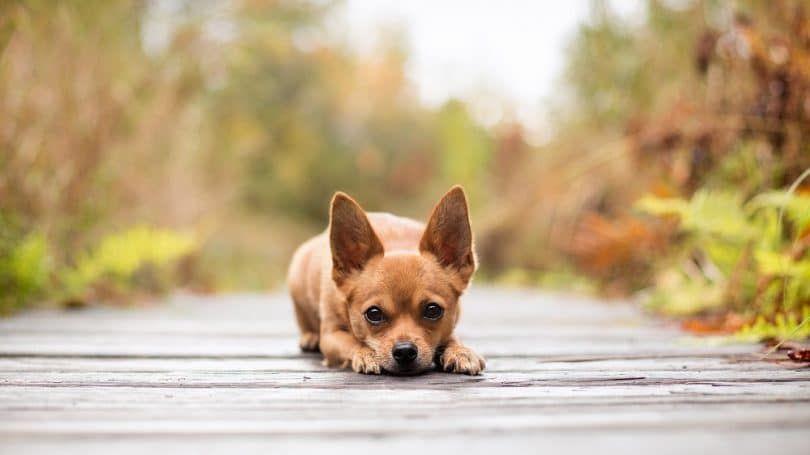 Perro perezoso Chihuahua