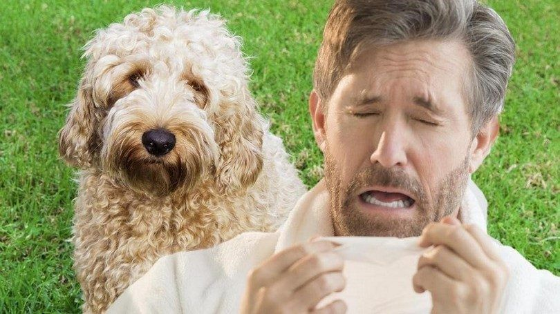 Perros para personas con alergias: encontrar una mascota que no va a hacer que se enferme