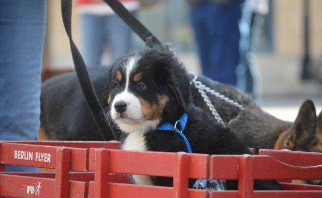Perros On Demand - Uber Proporciona cachorros para su trabajo