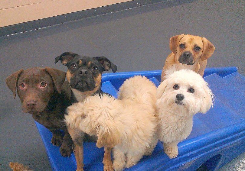 Los perros que se quedan pequeños: club de perrera americana presenta 20 razas de perros miniatura