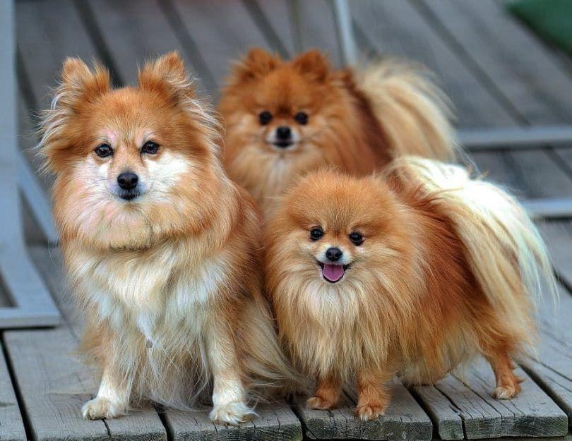 Pomerania perros todos los pequeños