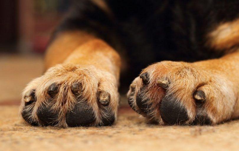 Los perros con los pies palmeados: don o una maldición?