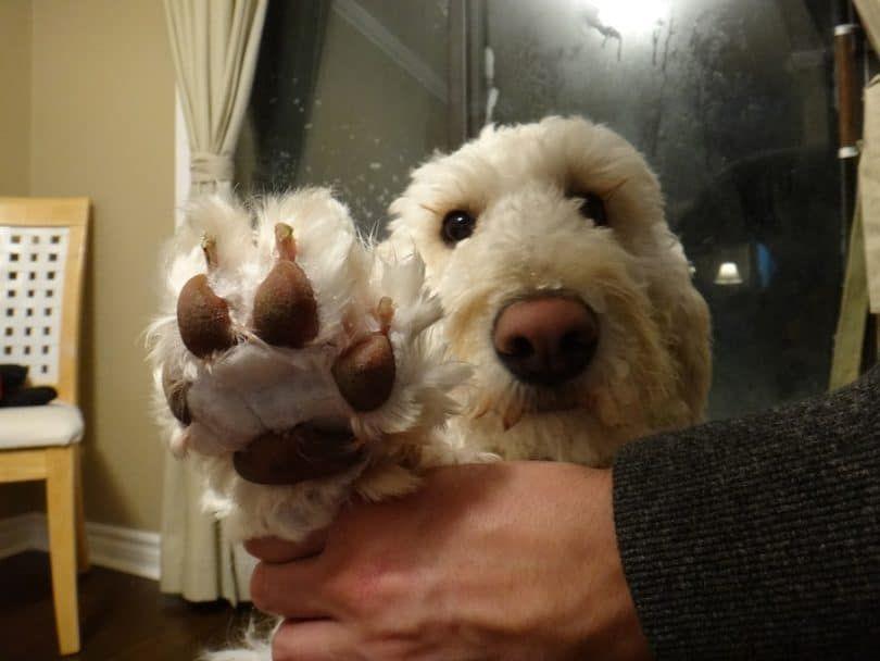 Perro pies palmeados