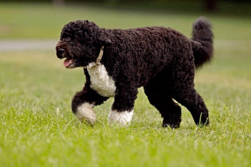 El perro de agua portugués