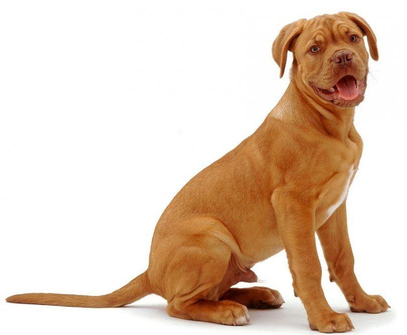 perro de raza Dogo de Burdeos