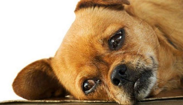 Abajo chico: es la amitriptilina para perros de seguridad?