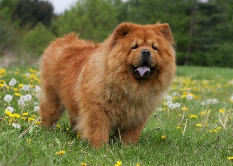 perro Chow Chow en el campo