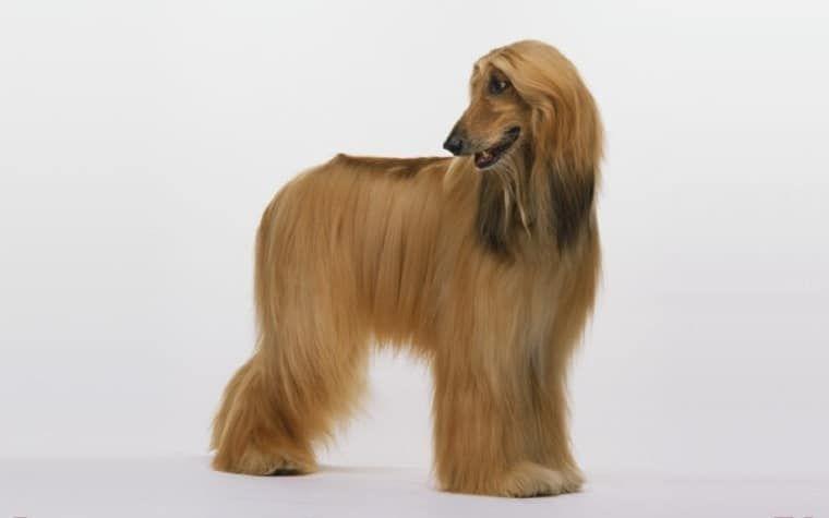 raza del perro de afgano