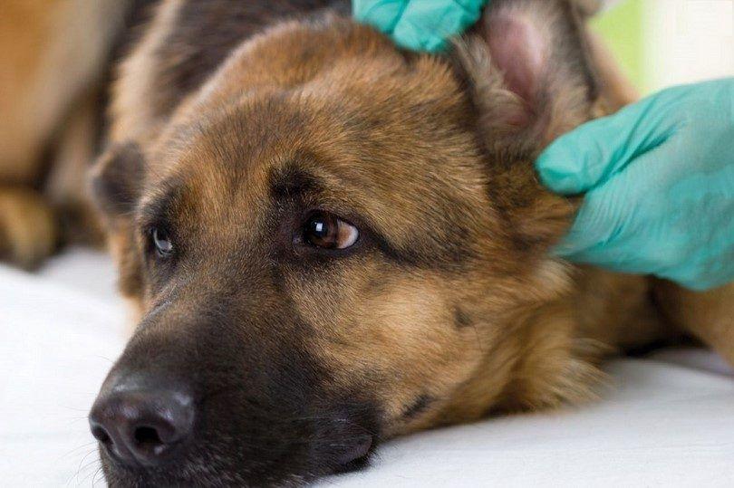 La infección del oído en los perros: aprender acerca de él antes de que las cosas empeoren