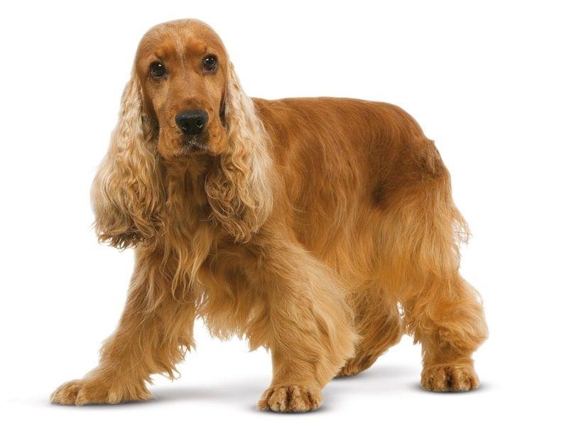 perro de raza Cocker Spaniel Inglés