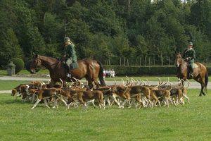 Foxhound inglés