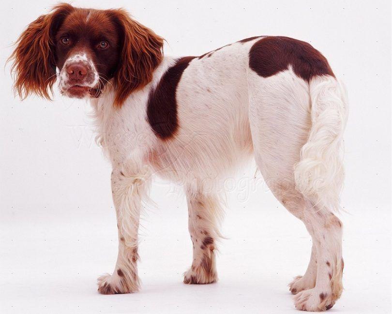Perro de aguas de saltador inglés
