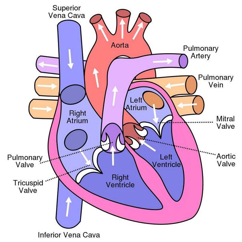 Diagrama del corazón del perro