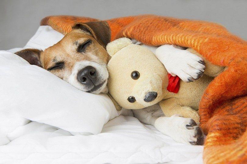 El tratamiento para el perro con problemas del corazón