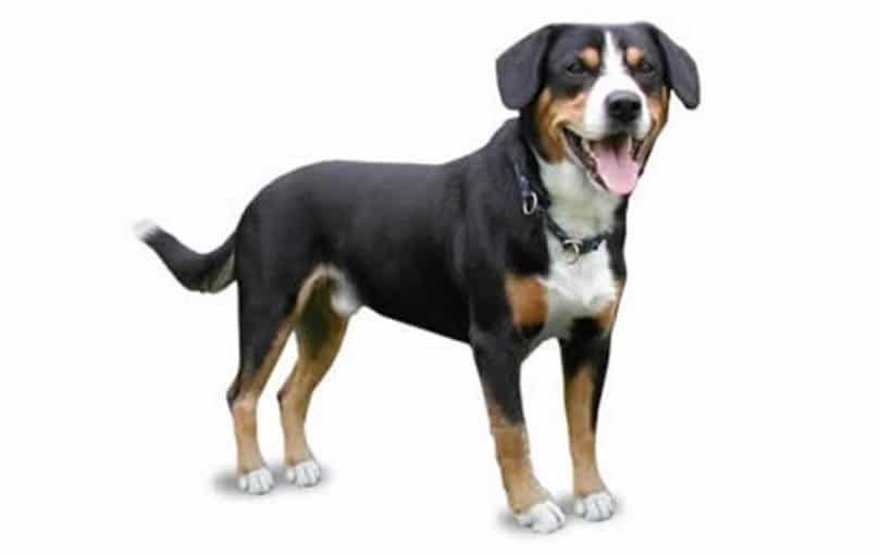 Perro de montaña entiebucher