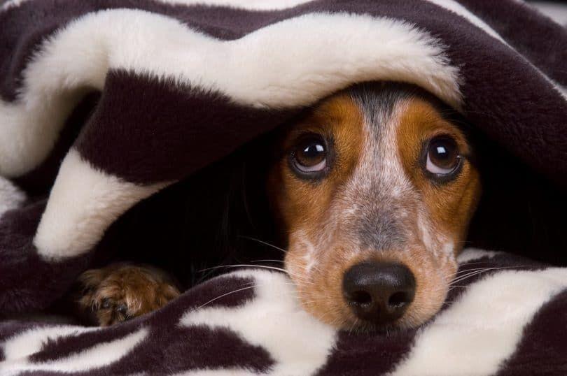 Las convulsiones en los perros