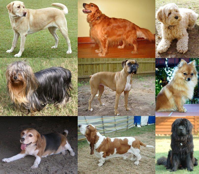 razas de perros propensos a la epilepsia