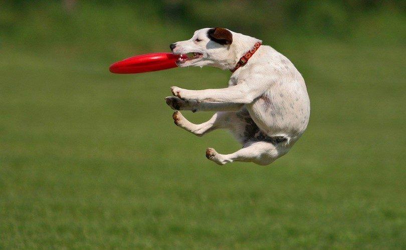 Perro que juega al aire libre con un disco volador