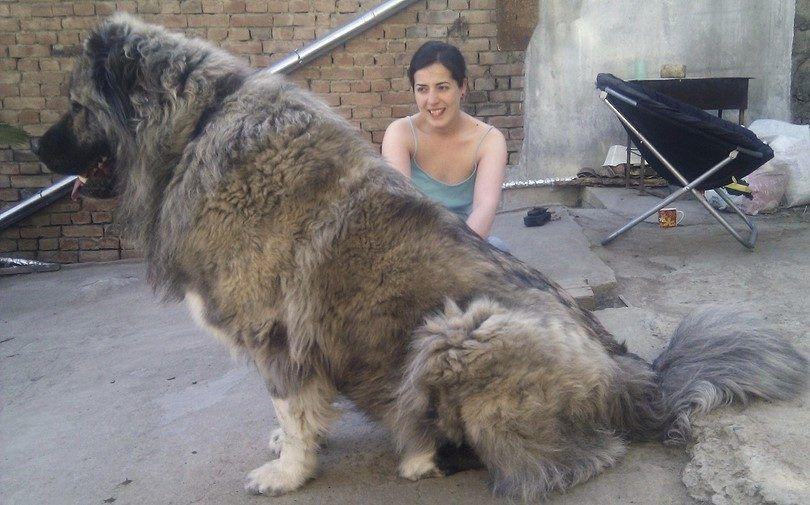 Extra grandes razas de perros: gigantes en estatura, pero cálidos, cachorros difusos en el corazón
