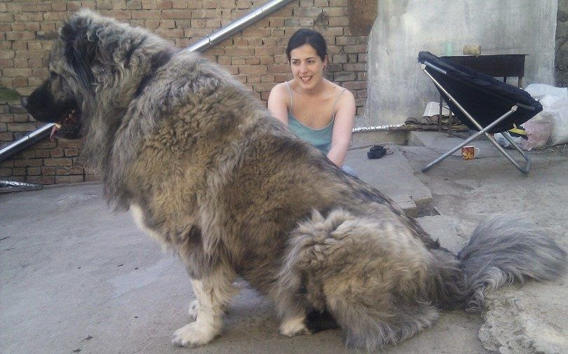 perro extra grande
