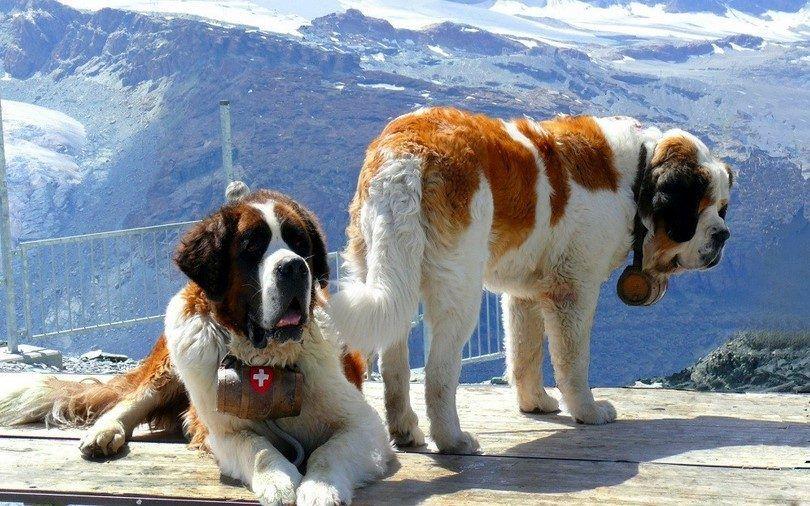 perros San Bernardo
