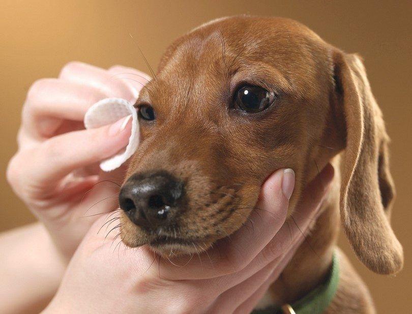 Limpieza ojos de los perros