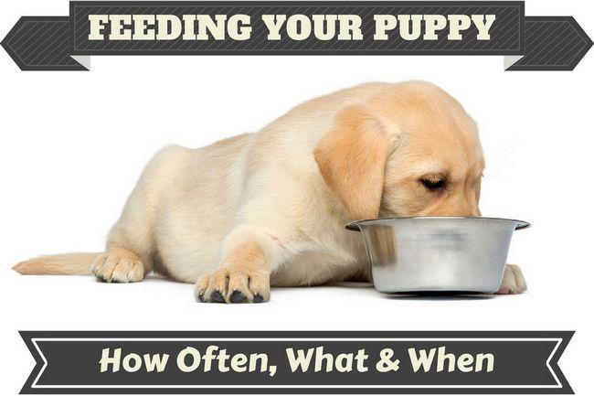 Un cachorro de Labrador que introduce desde un recipiente de metal