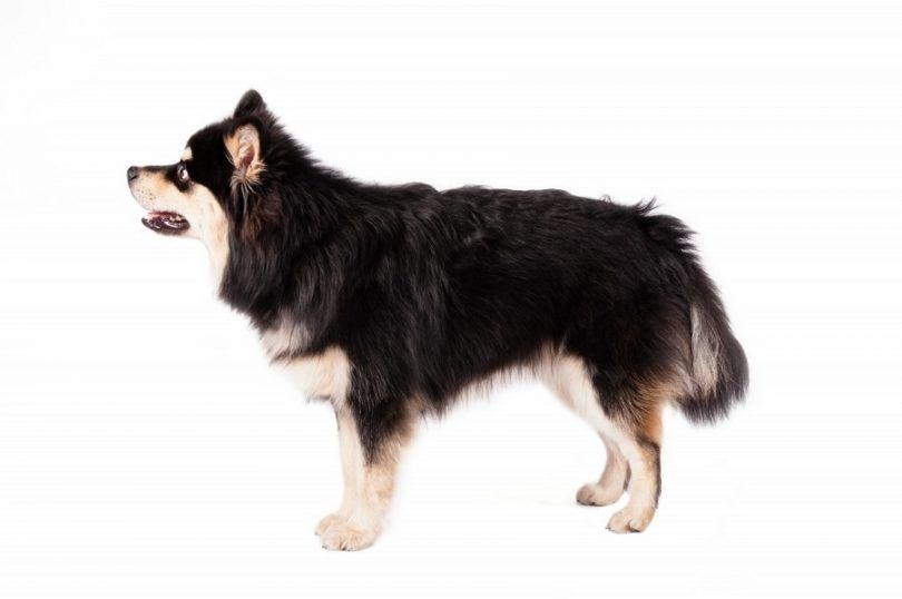 Finlandés perro de raza Lapphund