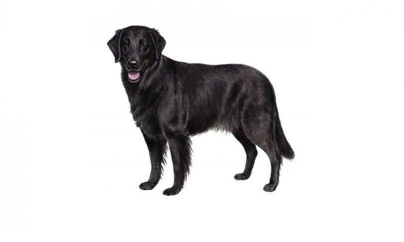 Revestida plana del perro de raza retriever