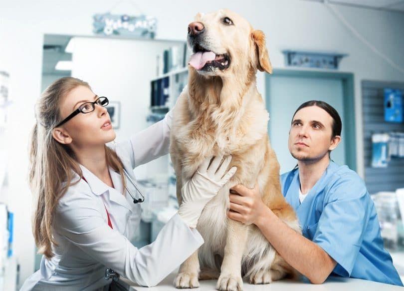 Perro con alergias en el veterinario