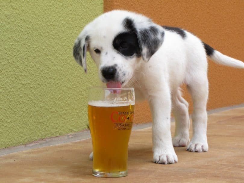 perro alcohol